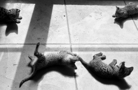 Four Savannah Kittens at Play. Photo: Michael Broad https://www.flickr.com/photos/michael-broad/